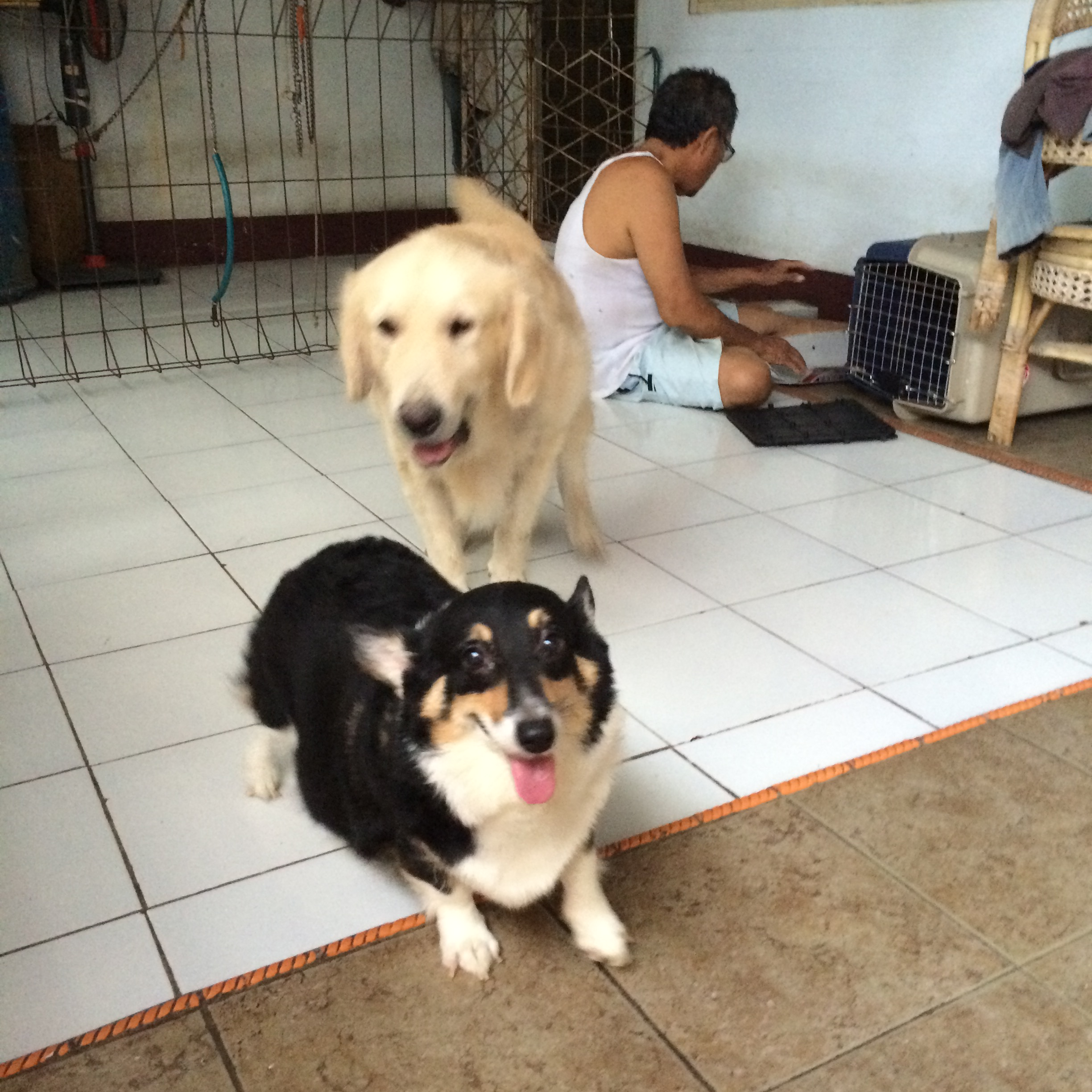 Believe It Or Not Golden Retriever Can Copulate With Corgi Me